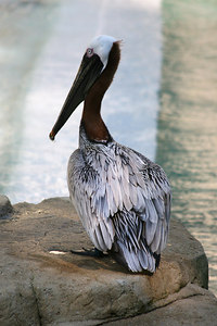 Brown Pelican.  Taken at the National Zoo in Washington DC.