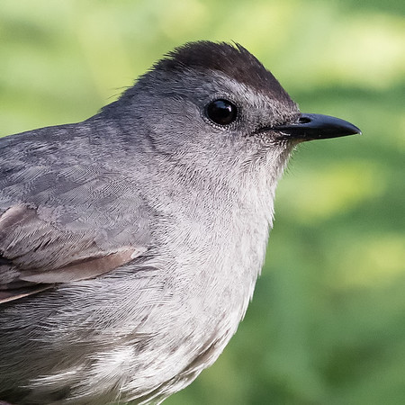 Catbird portrate