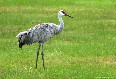 Sandhill Crane, North-Central Florida