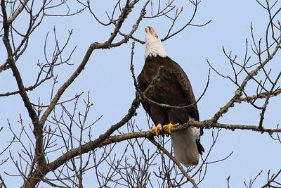 """""""Screaming Eagle  2"""""""