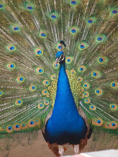 Peacock at the LA Country Arboretum - 6 Mar 2011