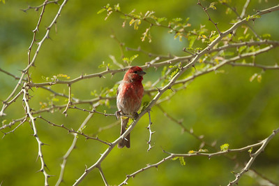 Little Red Bird 2