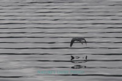 Blue Heron and Ripples, Fox Island, WA