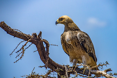 Tawney Eagle 0273
