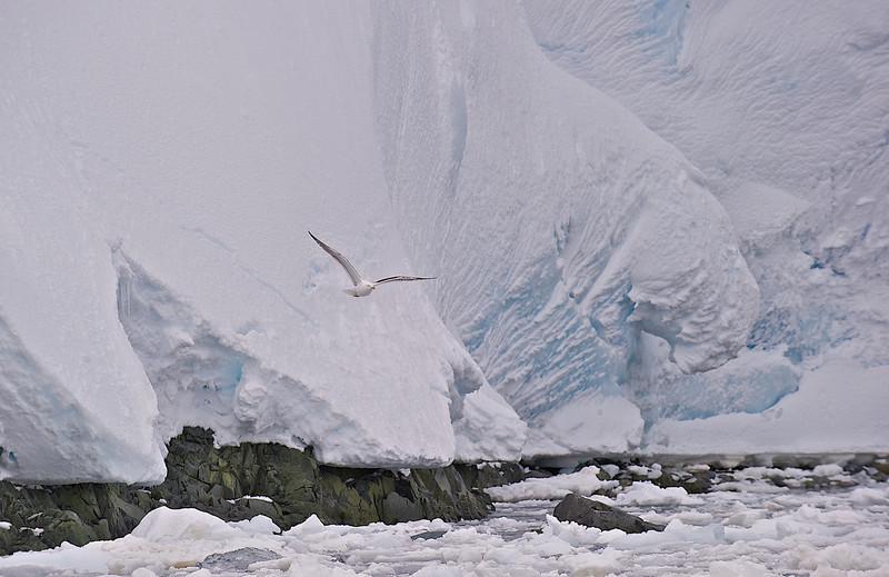 Kelp Gull, Antarctica