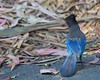 Steller's Jay, showing pattern on wings (Cyanocitta stelleri)