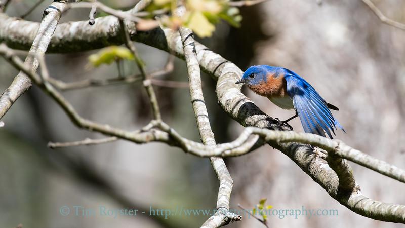 Male Eastern Bluebird (with attitude)