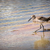 Willet in the Wind