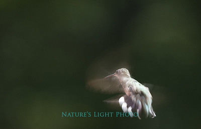 Ruby Throated Hummingbird (female), Bedford, MA
