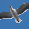 Great Black Backed Gull at Santa Monica Pier - 28 Nov 2010
