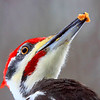 """  I Like Peanut Butter  ""  Male Pileated Woodpecker"