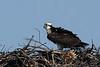 Osprey<br /> Occoquan NWR, Virginia