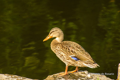 File-Ref 2013-08-29-Mallard Duck - 2 NEF