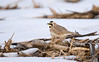 Horned Lark - March 2008 - Western Lucas County