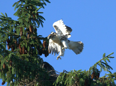 Young Red Tail hawk getting ready to fly