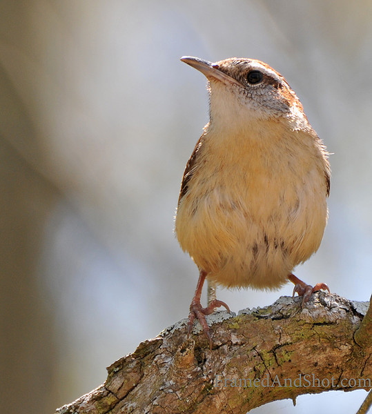 <strong><Center>The Singer </strong></center> This is a House Wren [Troglodytes aedon] and they are widely known for their songs. While both sexes produce calls and songs, the males' songs are more complex. Altogether 130 different song types are known from House Wrens. Unmated males can sing for up to 10 minutes.