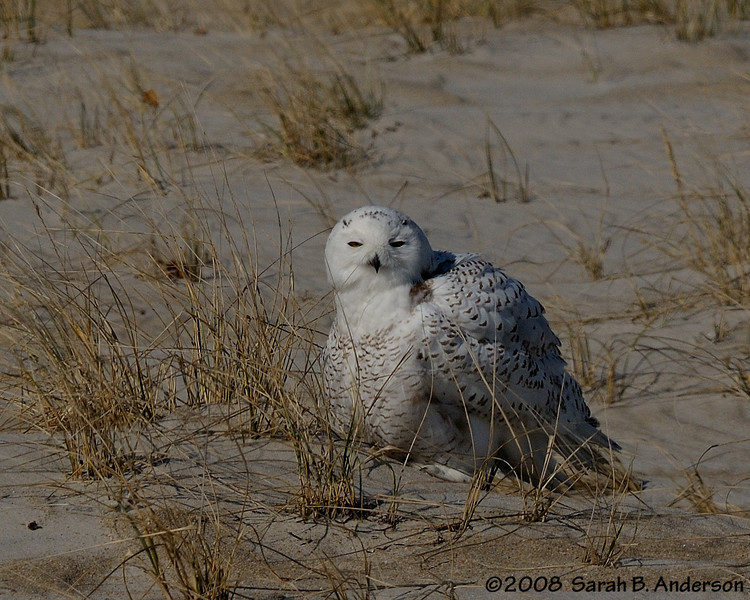 Snowy Owl fluffed up<br /> Assateague Island National Seashore, Maryland<br /> December 2008