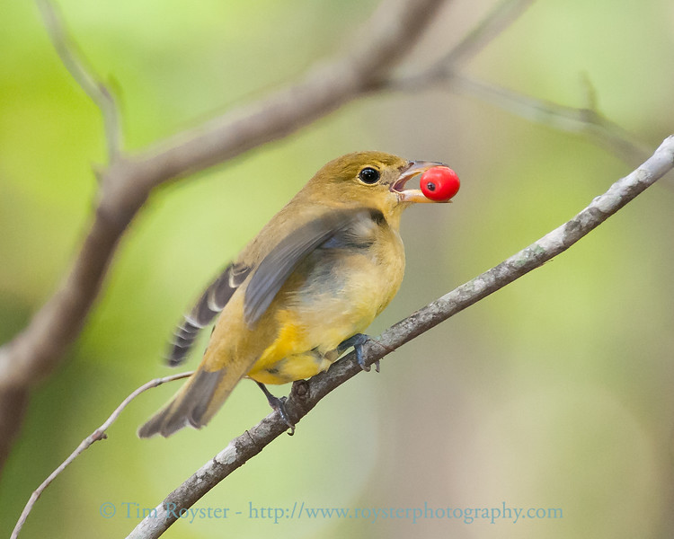 Scarlet Tanager with dogwood berry