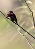 Anna's Hummingbird, displaying male