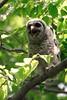Barred owlet yawn<br /> Fairfax County, Virginia