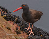 Black Oyster catcher Haematopus bachmani