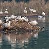 Bar Headed Geese 2