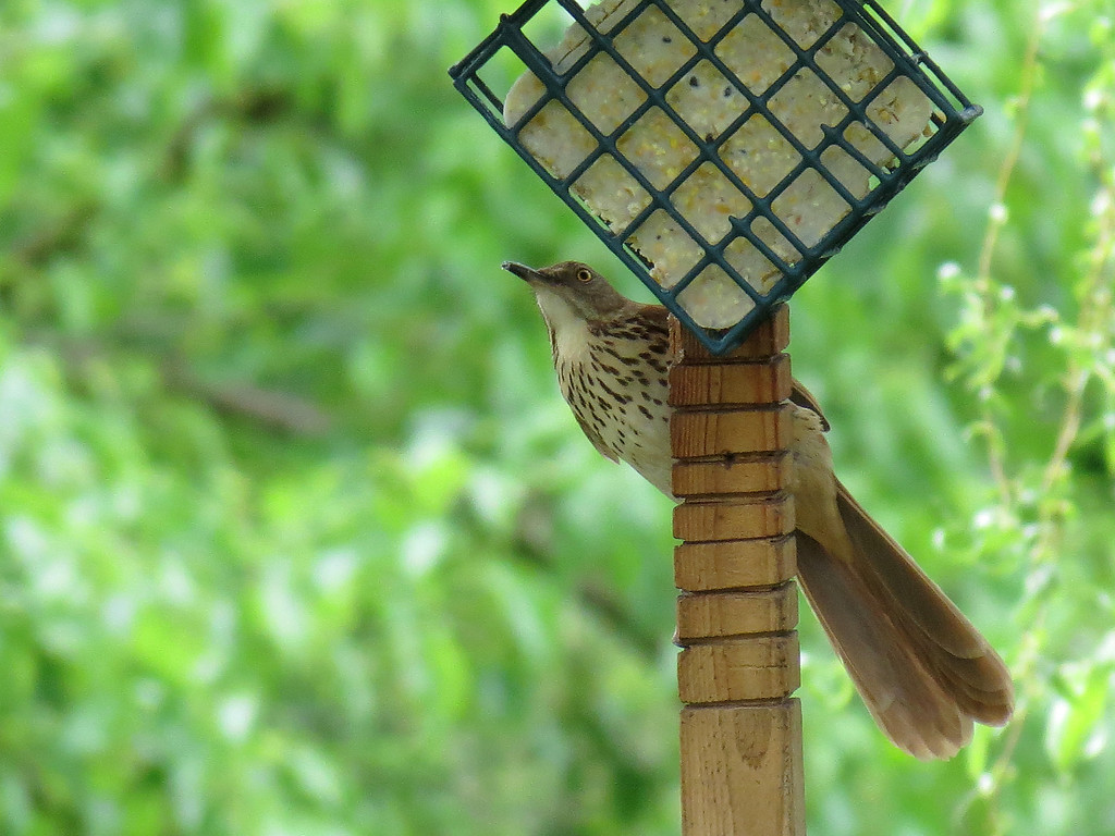 Brown Thrasher eating from the suet feeder.