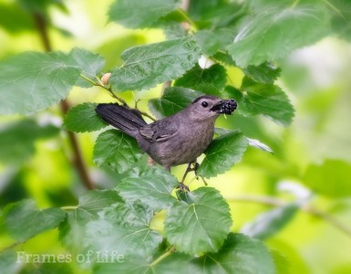 Catbird with Mulberry