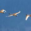 swans at tetons