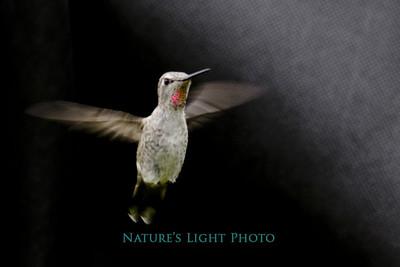 Black Chinned Hummingbird (male), Fox Island, WA
