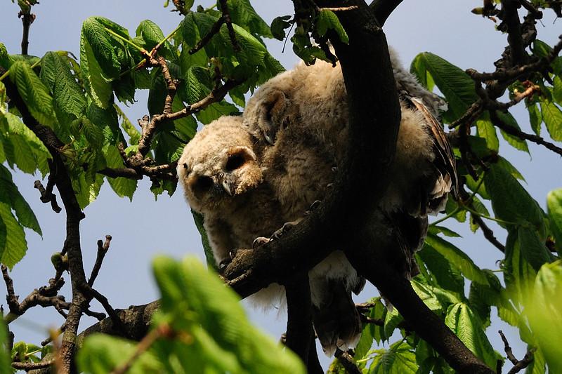 Tawny owlets<br /> Hyde Park, London, England