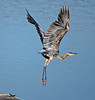 Great Blue Heron<br /> (Ardea herodias)