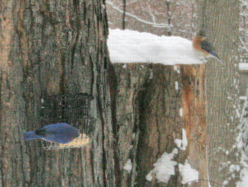 Bluebirds in Snow New Years Day 2006<br /> Shot through a window with a screen (seen in snow on stump) which reduced the clarity.<br /> Wrentham MA<br /> © WEOttinger, The Wildflower Hunter - All rights reserved<br /> For educational use only - this image, or derivative works, can not be used, published, distributed or sold without written permission of the owner.
