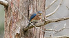 Female Eastern Bluebird having its meal