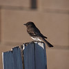 Black Phoebe - 25 Jan 2011