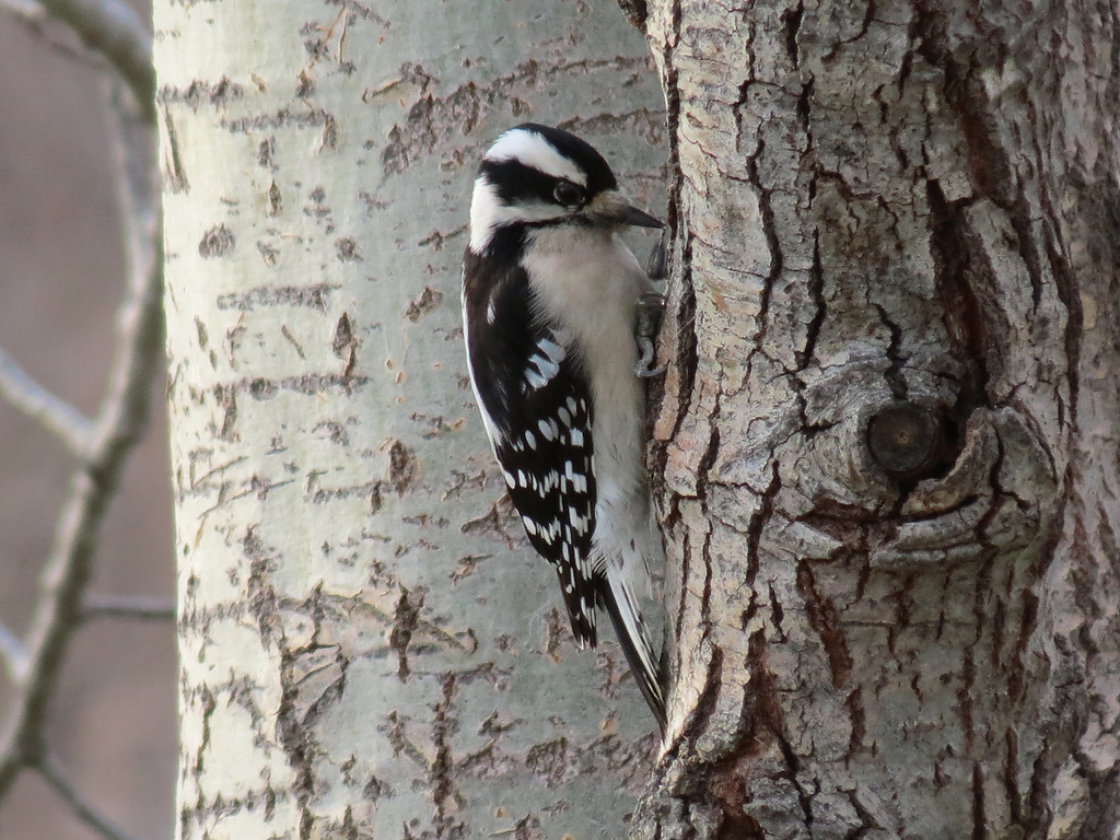 Downy Woodpecker on December 24,2012.