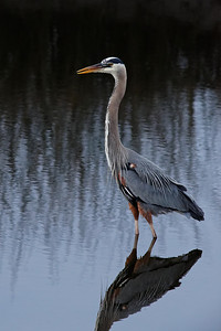 Great Blue Heron - St. Marks NWR, Florida