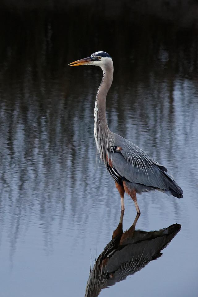 Great Blue Heron - St. Marks NWR, Florida