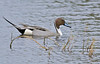 Pintail, Merritt Island National Wildlife Refuge, Florida