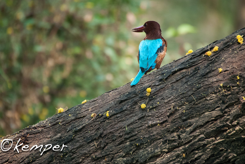 White-breasted Kingfisher 2