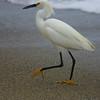 Snowy egret at San Clemente beach, CA.