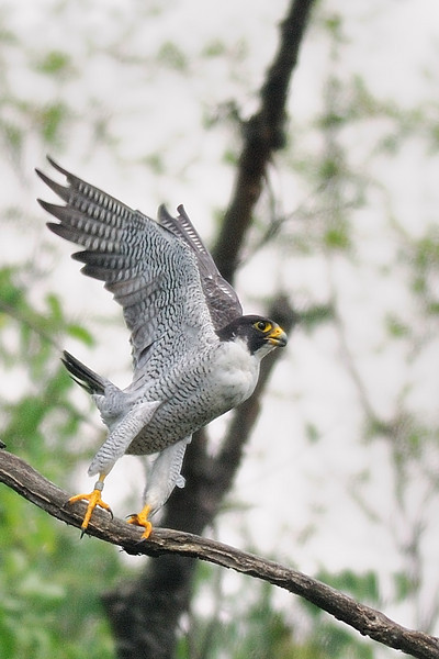 Lift off!<br /> Peregrine Falcon takes wing.<br /> Cabin John, Montgomery County, Maryland