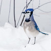 Blue Jay Poses for a Photo