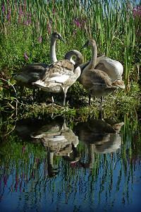 Mute Swans (juvenile)