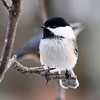 """   A Chickadee and Nuthatch """