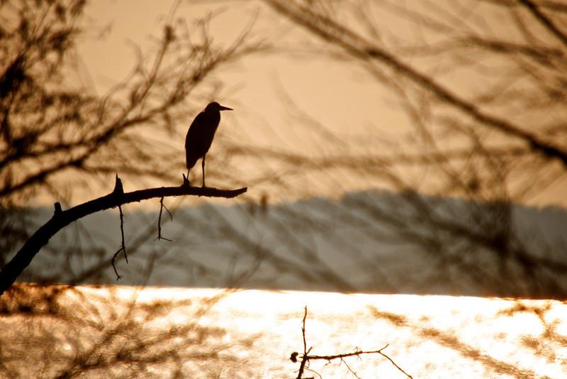 Great Blue Heron (Ardea herodias)<br /> Hog Island, Virginia, USA<br /> IUCN Status: Least Concern