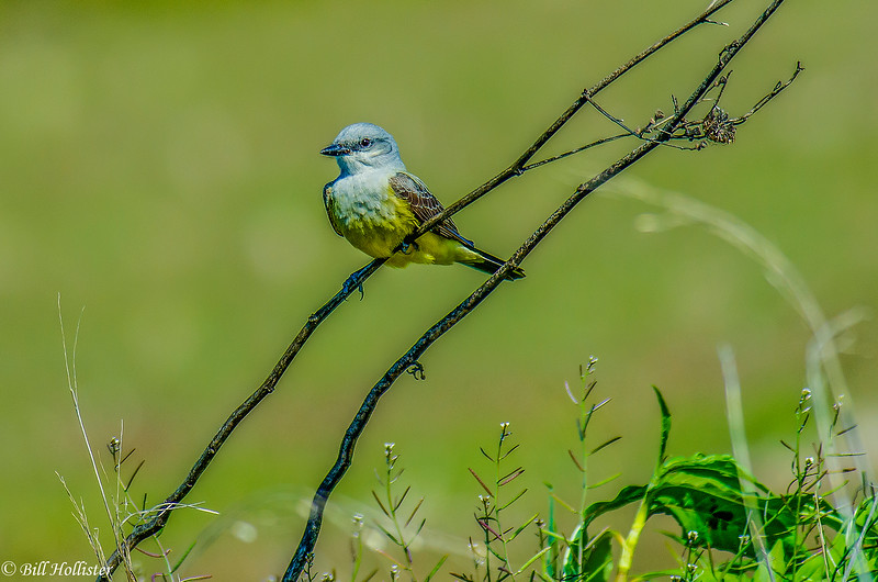 Western Kingbird at Colusa 2014 #1-2