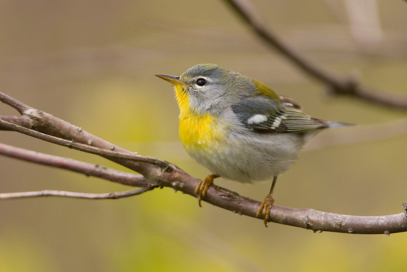 Northern Parula - May 2008