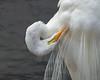 Great Egret Ardea alba