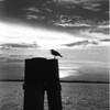 b&w ocean bird